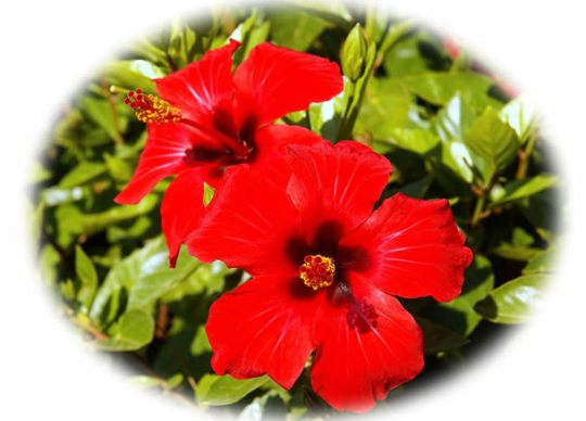 red-hibiscus-flowers
