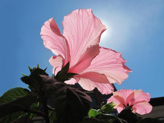 looking-towards-the-heavens--pink-hibiscus-flower-under-a-blue-sky-on-a-sunny-day-chantal-photopix