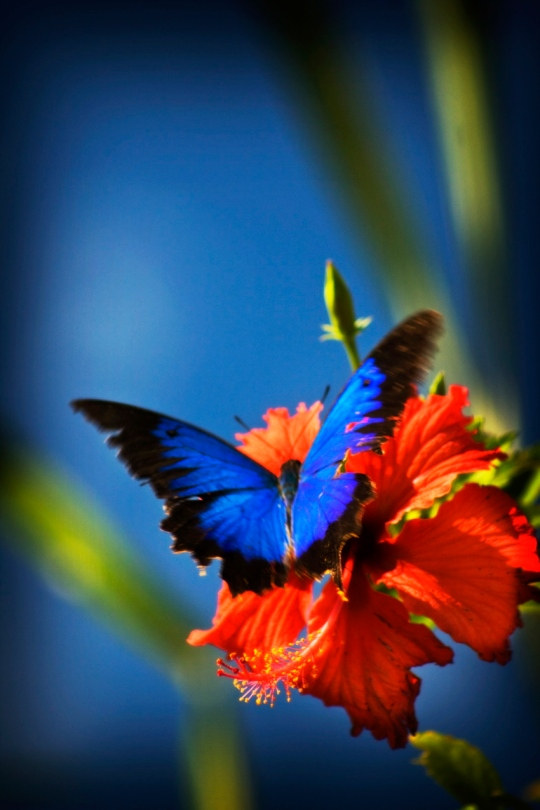 Ulysses butterfly on hibiscus - Scenes from the tropics