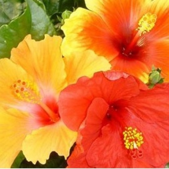 hibiscus-arbustivo-en-maceta-de-14-centimetros___3080994