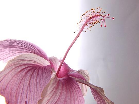 hibiscus-177710_640